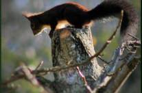 Urtxintxa – Écureuil