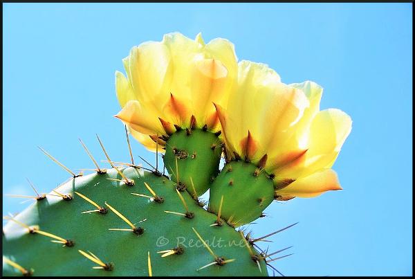 Fleur cactus