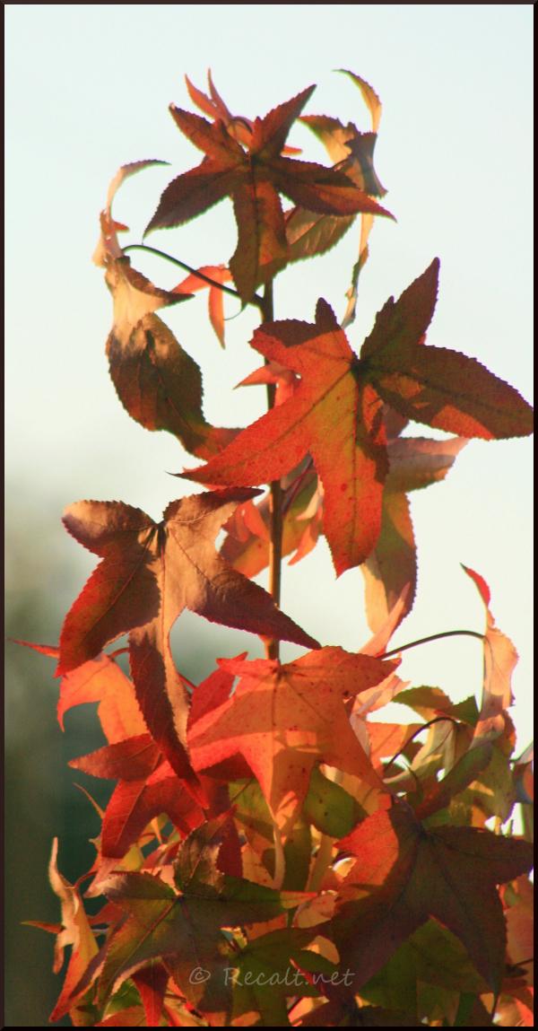 Liquidambar feuilles rouille orangées